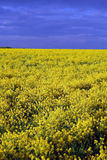Campo amarillo después de la lluvia Foto de archivo