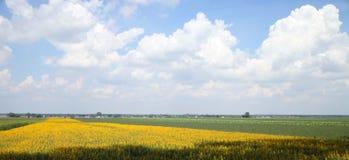 Campo amarillo en Polonia Foto de archivo libre de regalías