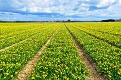 Campo amarillo hermoso del narciso Fotografía de archivo