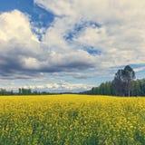 Campo amarillo magnífico del Canola en bosque Imágenes de archivo libres de regalías