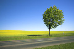 Campo amarillo y árbol solo 2 Fotografía de archivo