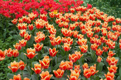 Campo amarillo y rojo del tulipán en jardín Imagen de archivo