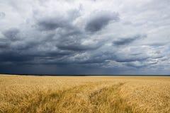 Campo antes de la cosecha Imagen de archivo libre de regalías