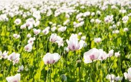 Campo aparentemente sin fin con la oferta mariposa-como p floreciente Fotos de archivo