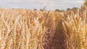 Campo aperto con le punte dorate asciutte del grano il giorno soleggiato pronto per il raccolto prima dell'autunno Fotografie Stock Libere da Diritti