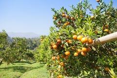 Campo arancio Fotografie Stock Libere da Diritti