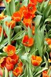 Campo arancio dei tulipani in giardino immagini stock libere da diritti