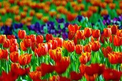 Campo arancio del tulipano Fotografia Stock
