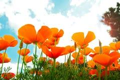 Campo arancione dei papaveri Immagini Stock Libere da Diritti