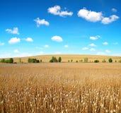 Campo asciutto del papavero prima del raccolto Fotografia Stock Libera da Diritti