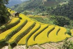 Campo asiático do arroz em colher a estação em MU Cang Chai, Yen Bai, Vietname Os campos de almofada Terraced são usados extensam Fotos de Stock Royalty Free