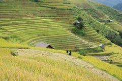 Campo asiático do arroz em colher a estação em MU Cang Chai, Yen Bai, Vietname Os campos de almofada Terraced são usados extensam Foto de Stock Royalty Free