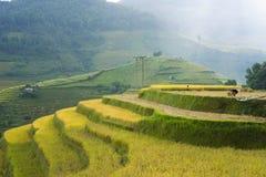 Campo asiático do arroz em colher a estação em MU Cang Chai, Yen Bai, Vietname Os campos de almofada Terraced são usados extensam Imagem de Stock