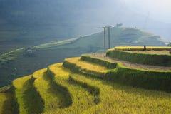Campo asiático do arroz em colher a estação em MU Cang Chai, Yen Bai, Vietname Os campos de almofada Terraced são usados extensam Fotografia de Stock