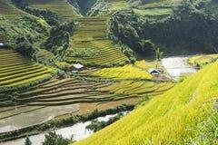 Campo asiático do arroz em colher a estação em MU Cang Chai, Yen Bai, Vietname Os campos de almofada Terraced são usados extensam Imagens de Stock Royalty Free