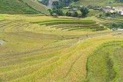 Campo asiático do arroz em colher a estação em MU Cang Chai, Yen Bai, Vietname Os campos de almofada Terraced são usados extensam Fotos de Stock