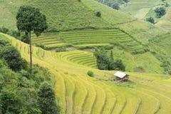 Campo asiático do arroz em colher a estação em MU Cang Chai, Yen Bai, Vietname Os campos de almofada Terraced são usados extensam Imagem de Stock Royalty Free