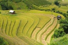 Campo asiático do arroz em colher a estação em MU Cang Chai, Yen Bai, Vietname Os campos de almofada Terraced são usados extensam Foto de Stock