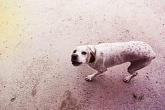 Campo atento del perro Foto de archivo libre de regalías