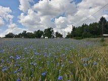 campo azul da centáurea Imagem de Stock