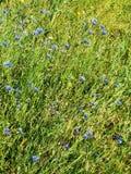 Campo azul de los acianos foto de archivo