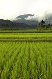 Campo bali del arroz de arroz Foto de archivo