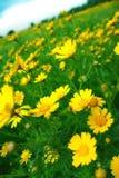 Campo beato, prato fiorito delle margherite. Immagine Stock