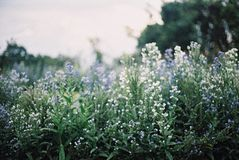 Campo blanco y violeta de la falta de definición de flor Imagenes de archivo