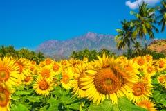 Campo bloming hermoso del fondo con el cielo azul, p del girasol Fotos de archivo libres de regalías