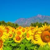 Campo bloming hermoso del fondo del girasol con el cielo azul Foto de archivo libre de regalías