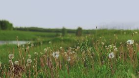 Campo bonito com dentes-de-leão na perspectiva de um rio vídeos de arquivo