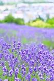 Campo bonito da alfazema Fotos de Stock Royalty Free