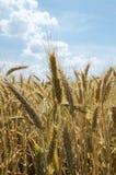 Campo bonito da cevada na colheita do período no céu nebuloso do fundo Imagem de Stock Royalty Free