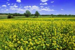 Campo bonito da mostarda Fotografia de Stock Royalty Free