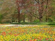 Campo bonito da tulipa na frente das árvores imagens de stock