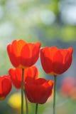 Campo bonito das tulipas no tempo de mola imagens de stock