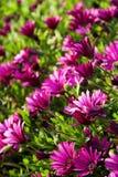 Campo bonito de margaridas roxas Fotografia de Stock