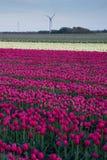 Campo bonito de tulipanes en la floración Foto de archivo libre de regalías