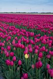 Campo bonito de tulipanes en la floración Imágenes de archivo libres de regalías