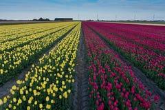 Campo bonito de tulipanes en la floración Imagen de archivo libre de regalías