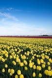 Campo bonito de tulipanes en la floración Imagenes de archivo