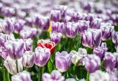 Campo bonito de tulipas branco-roxas com a uma flor amarelo-vermelha no centro, fundo obscuro imagem de stock royalty free
