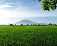 Campo bonito do arroz Foto de Stock Royalty Free