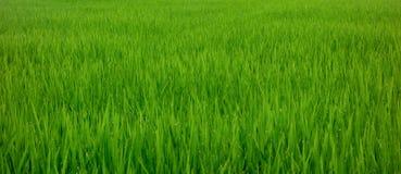 Campo bonito do arroz na manhã com gotas de orvalho nas folhas do arroz imagem de stock