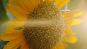 Campo bonito do girassol durante efeitos do alargamento do tempo e do lense do por do sol imagens de stock