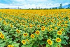 Campo bonito do girassol no verão Imagens de Stock