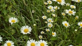 Campo bonito do prado com as margaridas selvagens do Boi-olho vídeos de arquivo
