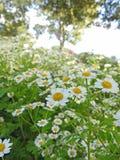 Campo bonito do prado do país completamente de margaridas do verão Fotos de Stock Royalty Free