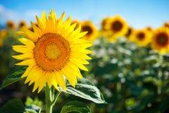 Campo bonito dos girassóis Paisagens rurais sob a luz solar brilhante Fundo do girassol de amadurecimento Colheita rica Imagem de Stock Royalty Free