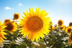 Campo bonito dos girassóis Paisagens rurais sob a luz solar brilhante Fundo do girassol de amadurecimento Colheita rica Fotografia de Stock